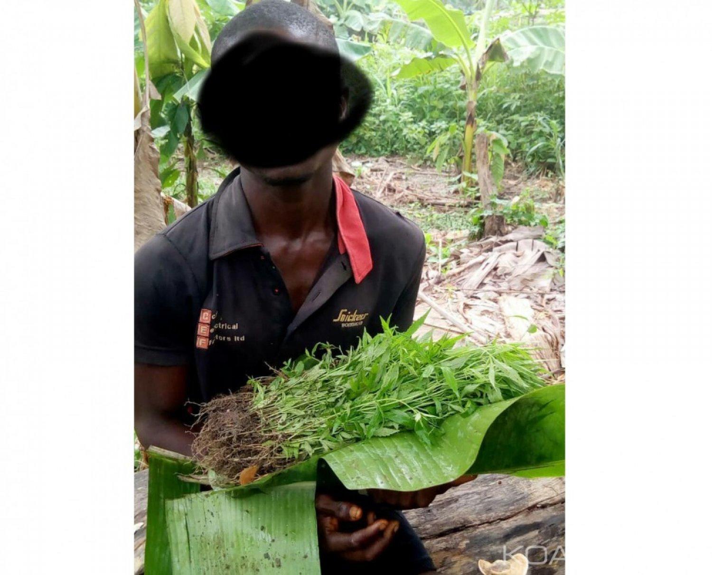 Côte d'Ivoire : Un planteur  interpellé dans son  champ de plants de cannabis
