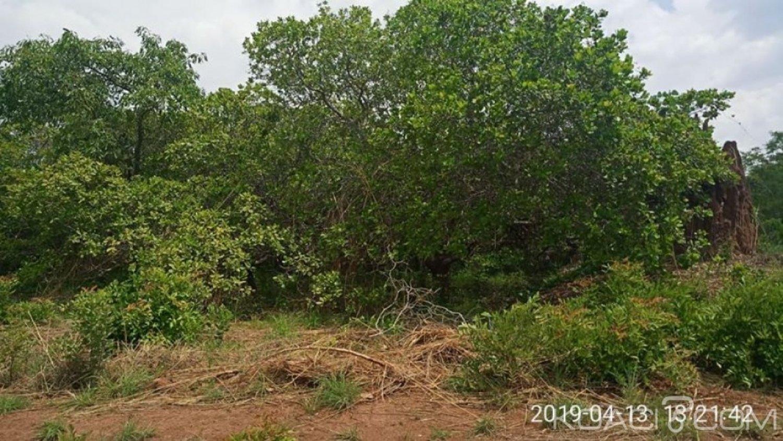 Côte d'Ivoire : Hambol, malgré la baisse du DUS, le kilo de noix de cajou acheté aux producteurs à 125 voire 150 FCFA, le produit stocké dans les maisons