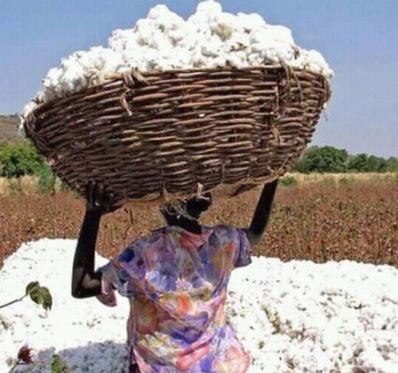 Côte d'Ivoire : Le prix du kilogramme de coton graine pour la campagne 2018-2019 fixé à 300 FCFA soit une hausse de 35 FCFA
