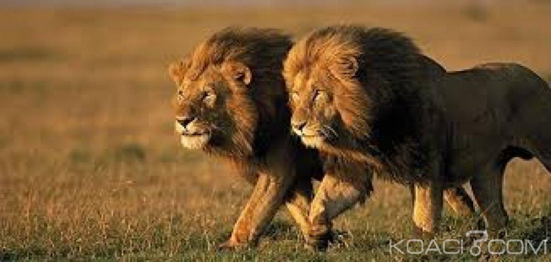Afrique du Sud:  14 lions s'évadent du parc national Kruger, appel à la vigilance