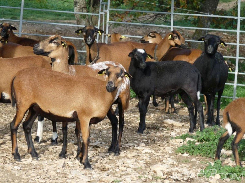 Cameroun : Offre en chèvres à 5 000 familles et 4500 femmes démunies pour combattre la précarité