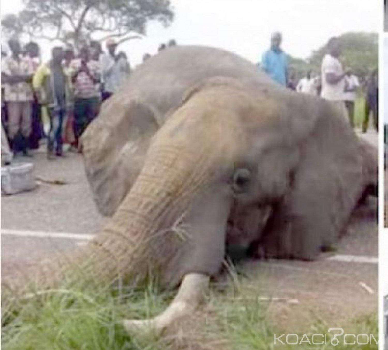 Côte d'Ivoire : Aucun éléphant n'a été tué par un car sur l'axe Toumodi-Dimbokro