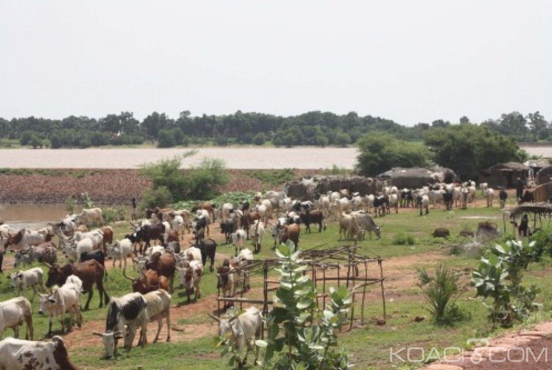 Côte d'Ivoire : Un bouvier et son troupeau foudroyés  dans le Worodougou
