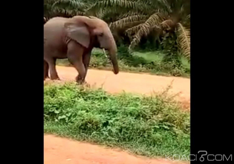 Côte d'Ivoire: Exaspéré par les bruits, un éléphant confisque un matériel de travail à Divo