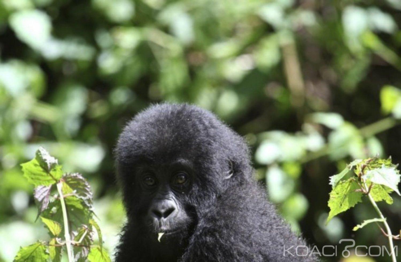RDC: Violences dans un parc naturel, un pygmée tué et 13 rangers blessés