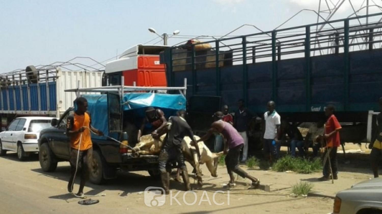 Côte d'Ivoire : A trois jours de la Tabaski, plusieurs camions de convoyage de bétails bloqués à l'entrée de l'abattoir pour faute de place