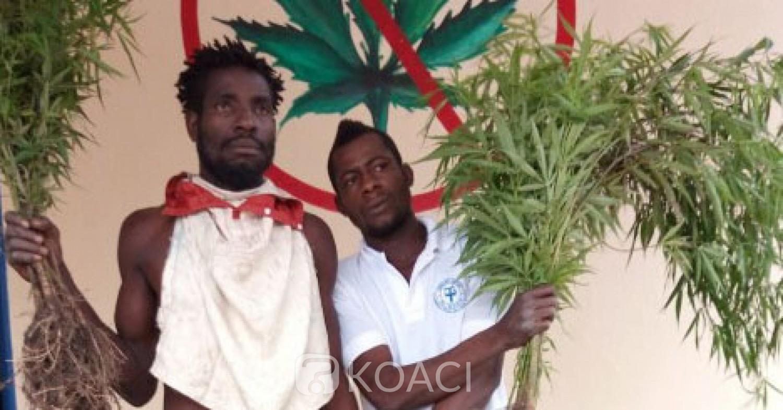 Côte d'Ivoire:  Affaire 1 hectare de cannabis découvert à Facobly, deux frères  présumés propriétaires mis aux arrêts