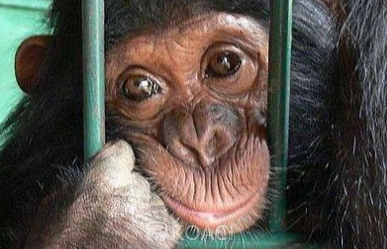 Côte d'Ivoire: Le commerce illégal de chimpanzés gagne du terrain au pays
