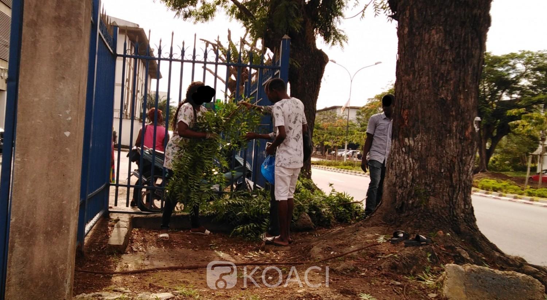 Côte d'Ivoire : Supposées remède contre le Coronavirus, à Abidjan on se rue sur les feuilles de neem