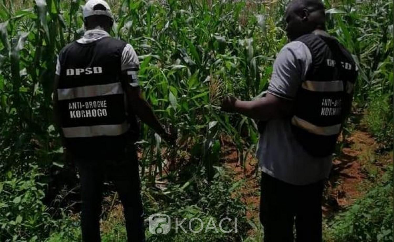Côte d'Ivoire : Qui a osé planter du cannabis à la prison civile de Korhogo?
