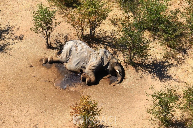Botswana : Une « bactérie » mise en cause après la mort de 300 éléphants