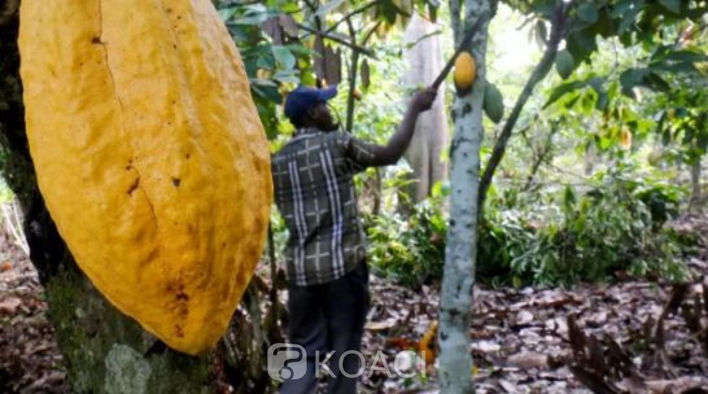 Côte d'Ivoire : Le prix du kilogramme de cacao fixé à 1000 F CFA pour la campagne 2020 - 2021