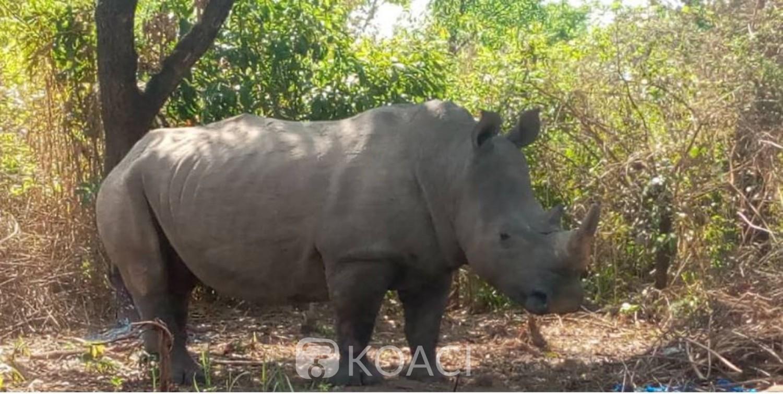 Côte d'Ivoire : Après l'éléphant « Hamed », un Rhinocéros perturberait la quiétude des villageois dans le centre du pays