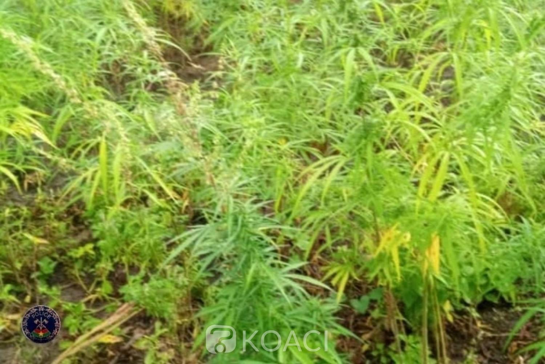 Burkina Faso : Deux champs de cannabis détruits à Po