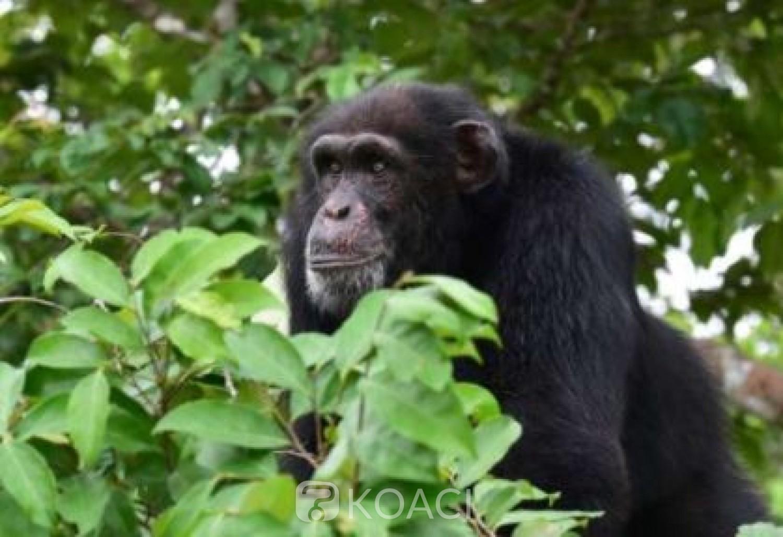 Côte d'Ivoire : Sipilou, une Dame mortellement agressée dans une forêt classée par un Chimpanzé, son bébé épargné par le primate