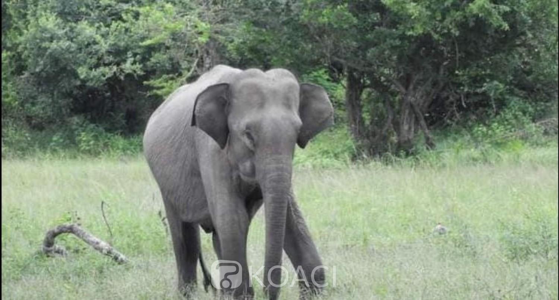 Côte d'Ivoire : Après  « Hamed » capturé à Guitry, un autre éléphant se signalerait à Dabakala, des champs « dévastés » par l'animal