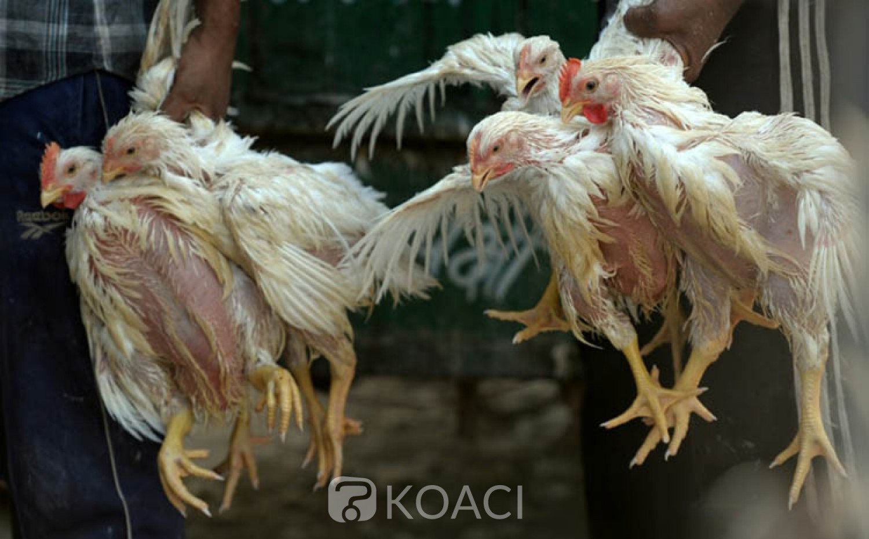 Sénégal : Près de 60.000 volailles ont  été abattu de grippe aviaire