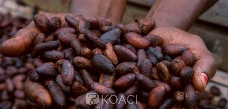 Côte d'Ivoire : Voici les dispositions arrêtées pour la campagne intermédiaire de commercialisation du cacao