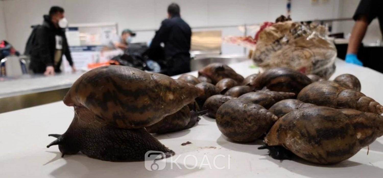 Ghana :  Des escargots en provenance du Ghana saisis dans un aéroport aux USA