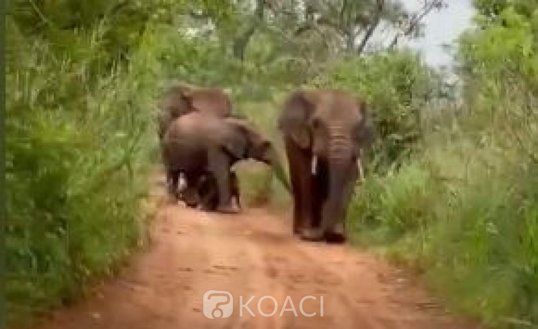 Côte d'Ivoire : Retour d'éléphants dans la forêt de Yalo, les populations averties sur les risques du braconnage