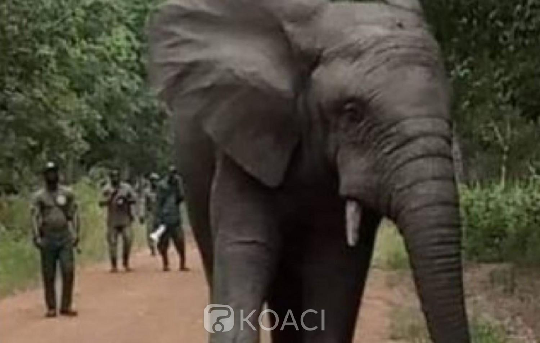 Côte d'Ivoire : L'éléphant « Hamed » continue de mettre à mal la quiétude des populations, fermeture de la voie reliant deux  villages où l'animal est présent fréquemment