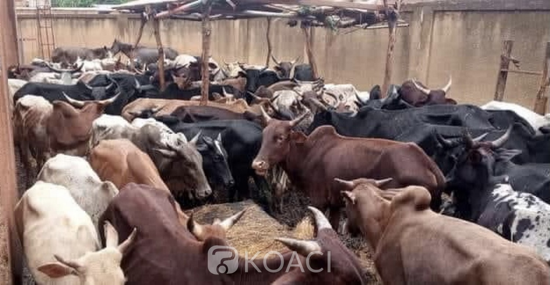 Burkina Faso : La police mène la lutte contre la divagation animale, une soixantaine de bœufs en fourrière