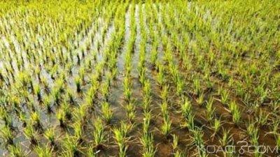 Côte d'Ivoire : Pour accroître la production de riz à Danané, plusieurs hectares mis en valeur par une entreprise