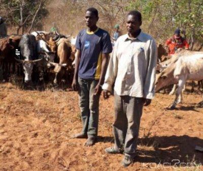 Côte d'Ivoire : Ferkessédougou, des présumés voleurs de troupeau de bœufs appréhendés