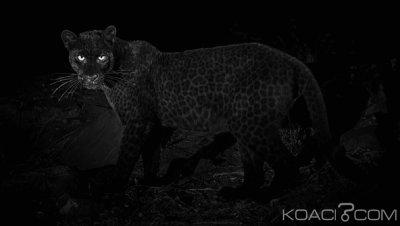 Kenya: Polémique autour des « rares » photos d'un léopard noir