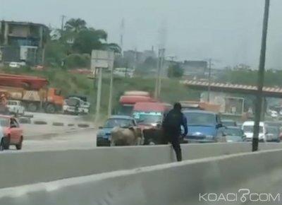 Côte d'Ivoire: (Vidéo) Des bœufs errants sur l'autoroute du nord Yopougon
