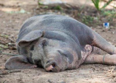 Côte d'Ivoire : Une contribution de 458 millions de FCFA de la FAO pour une assistance d'urgence pour la lutte contre la peste porcine dans le Tchologo et le Poro