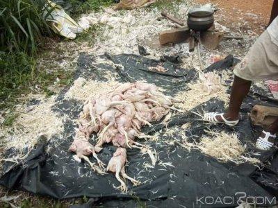 Côte d'Ivoire: À Abobo, cinq vendeurs de poulets non comestibles appréhendés