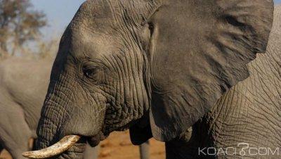 Botswana: La chasse aux éléphants de nouveau autorisée