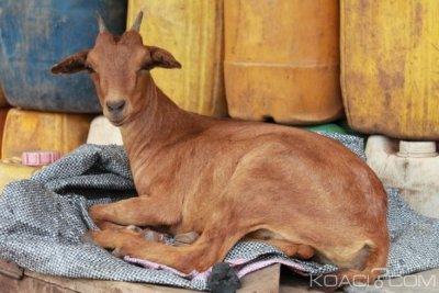 Ghana : Municipalité de Ga, les chèvres arrêtées vendues aux enchères à 73 000 F