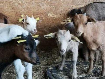 Cameroun: Sécurité alimentaire, 1100 familles et femmes vulnérables reçoivent  des chèvres et moutons