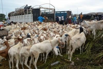 Côte d'Ivoire : Convoyage du  bétail, que se passe-t-il à la frontière ivoiro-malienne ?