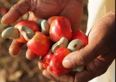 Côte d'Ivoire : Filière Anacarde, 108 entrepôts vont être construits dans les zones de production pour stocker  les récoltes