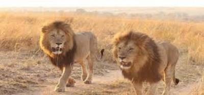 Cameroun: Lions en divagation dans le Mbam-et-Kim, lourdes pertes, du bétail dévoré par dizaines