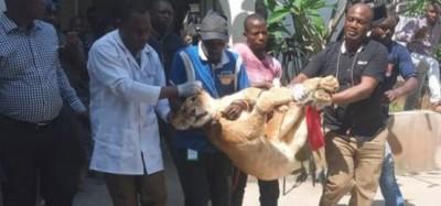 Nigeria: Un lion « gardien de maison » à Lagos délocalisé dans un zoo