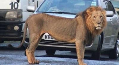 Kenya: Un lion en cavale  recherché après avoir tué un homme à Nairobi