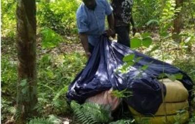Côte d'Ivoire: Une importante quantité de cannabis saisie dans une plantation d'hévéas