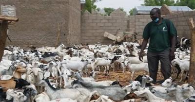 Cameroun: Affectées par les conflits, des familles  reçoivent des milliers de ruminants pour relancer l'élevage