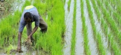 Côte d'Ivoire : Programme national de production de riz, l'entreprise Lucky Export et son DG Ansu Bajla jugés défaillants