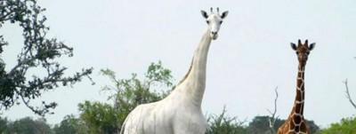 Kenya : L'unique girafe blanche femelle au monde et son petit tués par des braconniers