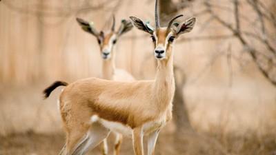 Niger : Une quarantaine de gazelles dorcas massacrées par des braconniers, quatre personnes arrêtées