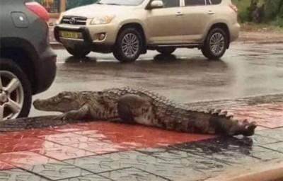 Burkina Faso : Des crocodiles en liberté en plein Ouaga après une pluie diluvienne