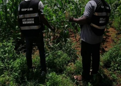 Côte d'Ivoire :    Affaires plants de cannabis découverts dans la prison de Korhogo,...
