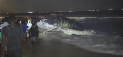 Togo : Une baleine échouée à Lomé