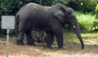 Côte d'Ivoire : Après le rhinocéros, un autre animal surnommé « Plaisir » perturbe la quiétude des populations à Issia