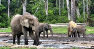 Cameroun : Deux personnes tuées par des éléphants à la recherche de nourriture à l'Extrême-Nord